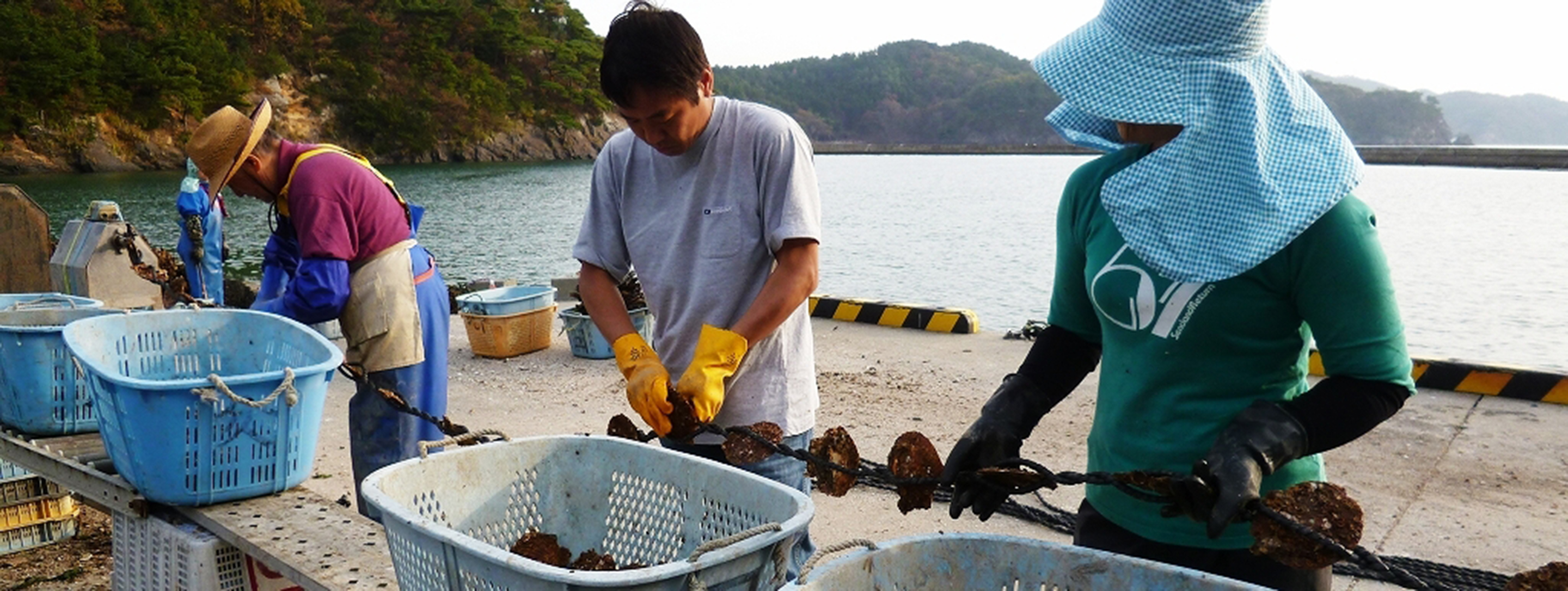 oyster farming in japan after the tsunami