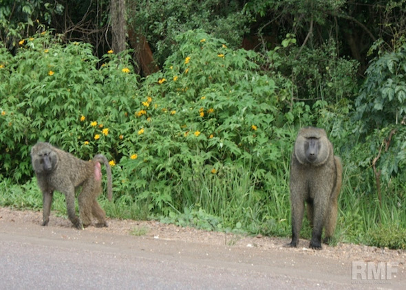baboons walking in the road